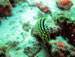 nudibranche Maldives